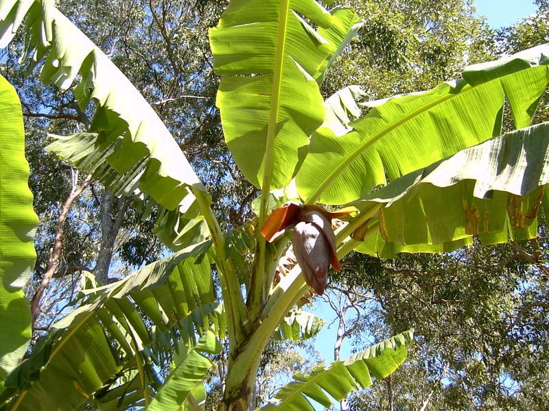 Bananas_002_1