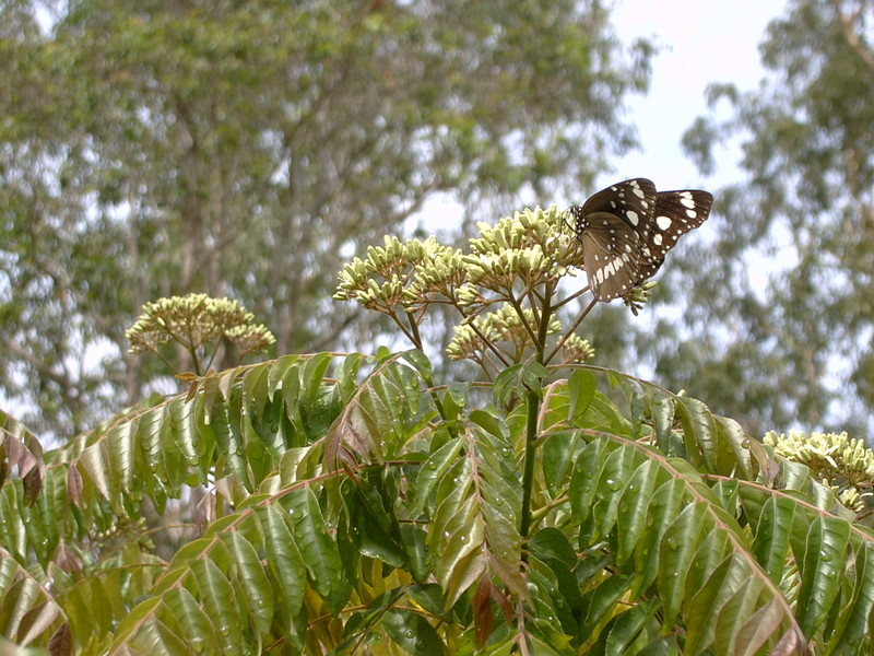 Butterfly_poss_common_crow_001