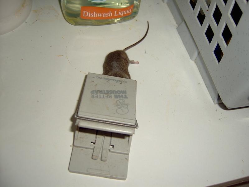 Dead_mouse_001_2