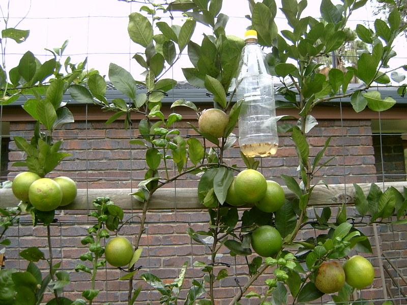 Fruit_fly_003