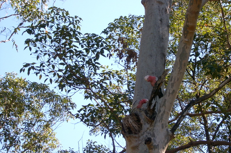 Galahs_checking_out_tree