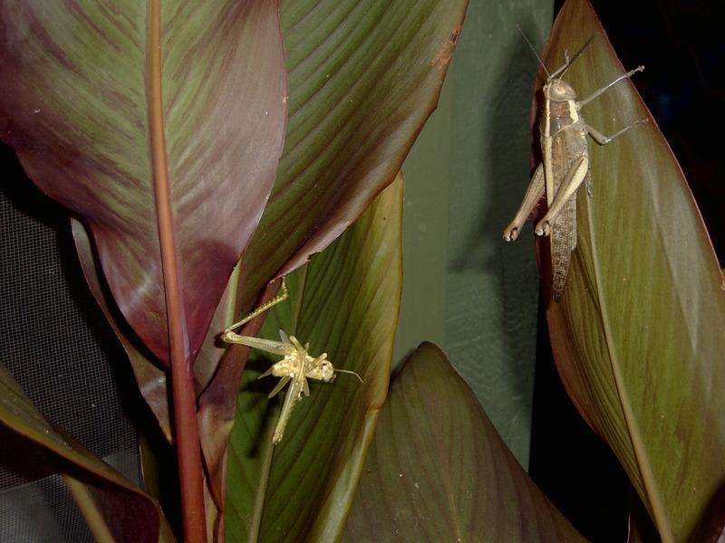 Grasshopper_001