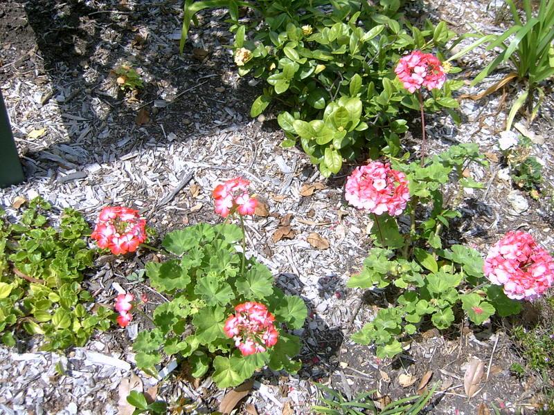 Pelargonium_flowers_002