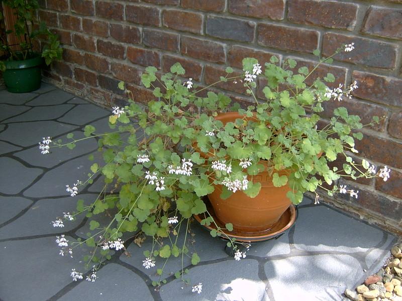 Pelargonium_flowers_003