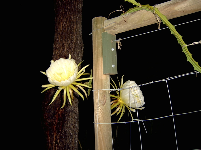 Pitaya_night_bloom_002